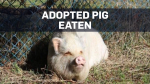 BC SPCA says adopted pig slaughtered, eaten