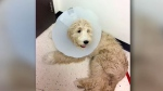 Golden Doodle, Roxy, is seen in this photo submitted by the Goodman family to CTV News Toronto.