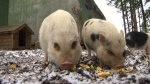 Pot-bellied pig eaten after being adopted