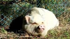 Potbelly pig adopted as pet ends up on plate
