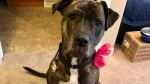 Cindy Davis' pit bull-mastiff, Aspen. (CTV NEWS/ LAURA WOODWARD)