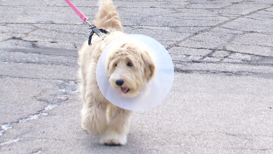 Roxy the goldendoodle has been reunited with her family after the dog was surrendered to a veterinary clinic when its family couldn't afford to pay $8,000 for emergency surgery. (CTV Toronto)