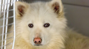 The SPCA says 46 allegedly neglected dogs seized during an investigation near Williams Lake, B.C. are terrified of human contact, but could be adopted out one day after receiving a mix of both medication and rehabilitation. (B.C. SPCA)