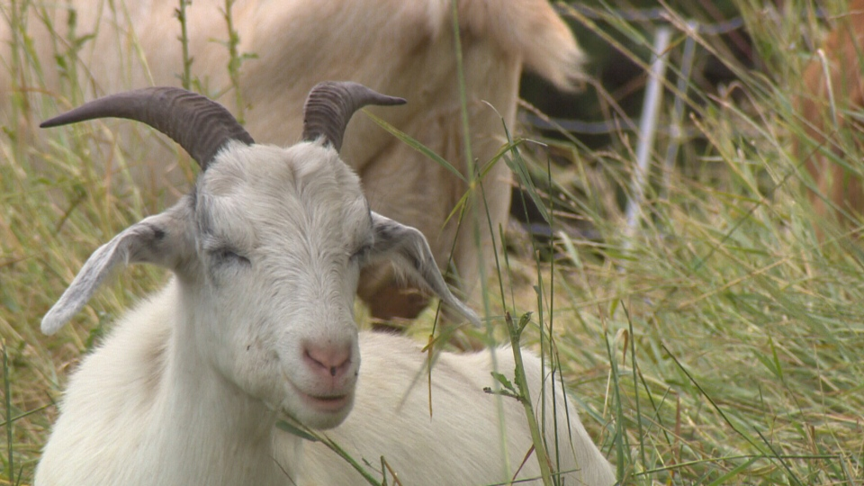 Goat stomachs are so acidic they actually destroy seeds and prevent seed distribution, the city said on its website.