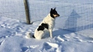 Oliver enjoying a frosty morning in Dugald. Photo by Margaret Thom.