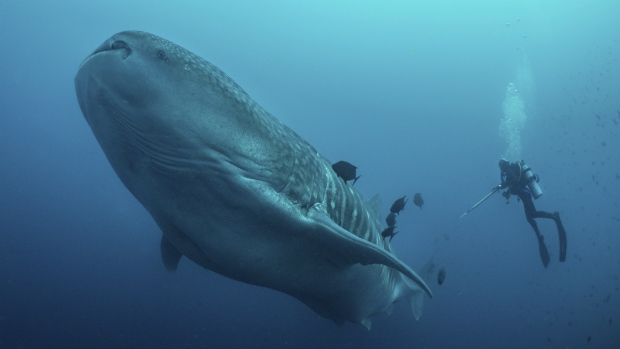 Whale sharks are seen in the Galapagos