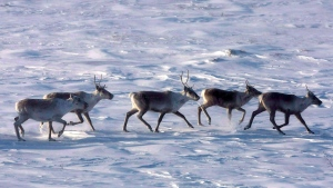 Wild caribou roam the tundra in Nunavut on March 25, 2009. THE CANADIAN PRESS/Nathan Denette