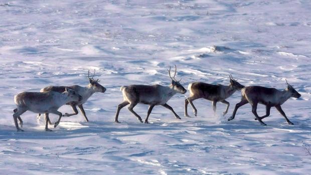 Wild caribou