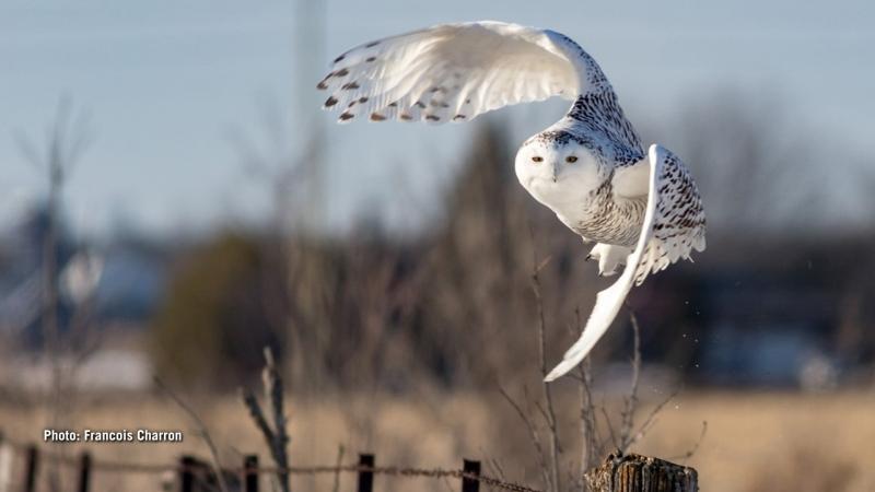 Snowy Owl takeoffin Stittsville area. (Francois Charron/CTV Viewer)