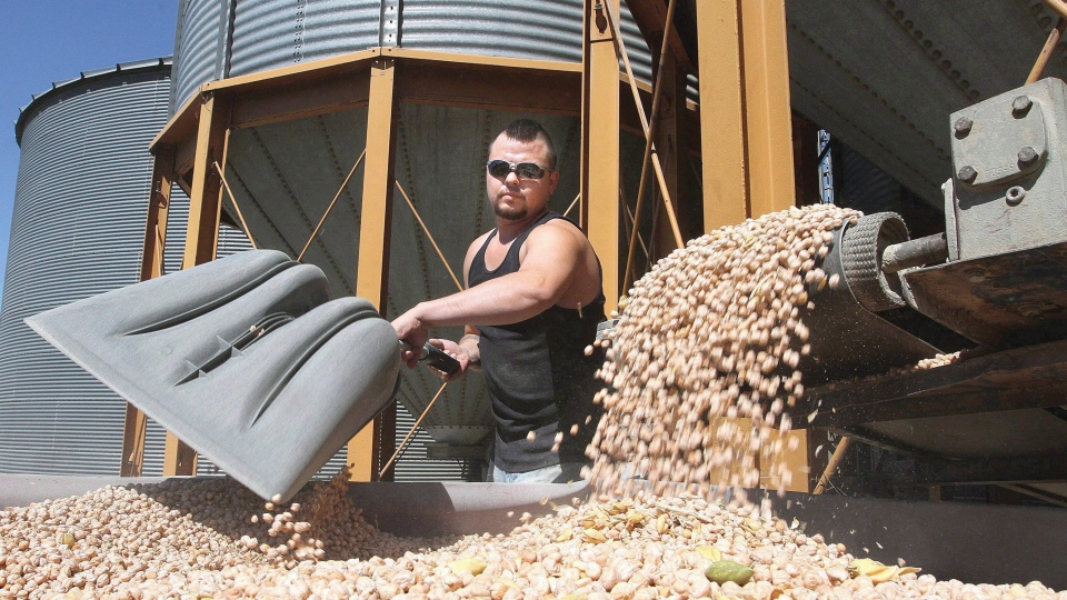 A worker unloads chickpeas for processing at Blue Mountain Seed in Walla Walla, Wash., Wednesday, Aug. 28, 2013. (THE CANADIAN PRESS/AP-Tri-City Herald, Paul T. Erickson)