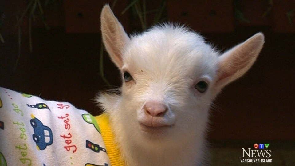 Baby goats mark opening at Victoria