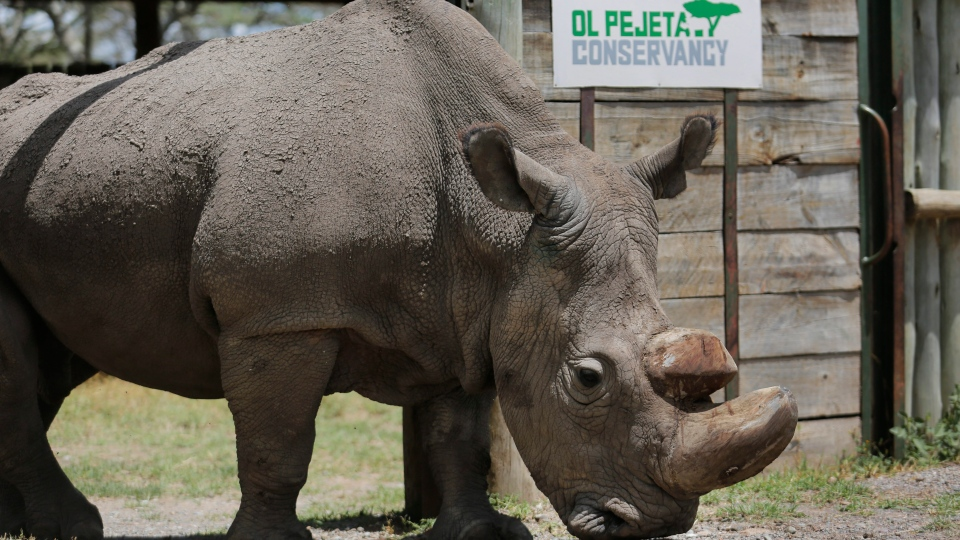 Sudan, the world's last male northern white rhino, is photographed at the Ol Pejeta Conservancy in Laikipia county in Kenya on Wednesday, May 3, 2017. (AP Photo)