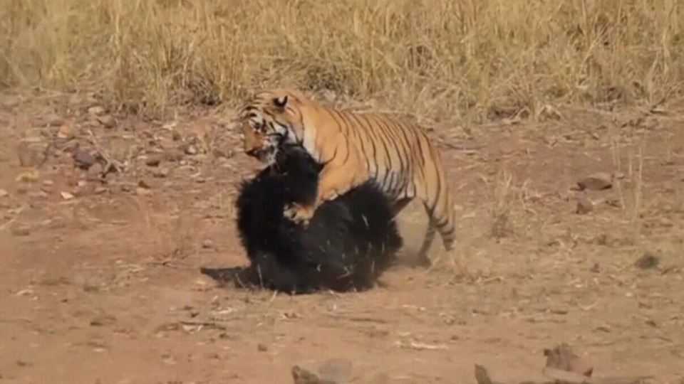 Caught on video: Violent brawl between bear and tiger at ...