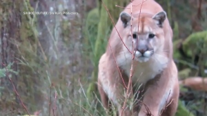 Adam Bartsch recorded an intense standoff with a cougar last week near Campbell River, B.C. (YouTube)