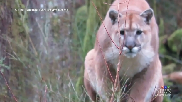 le cougar au quebec