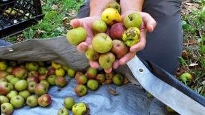 In this Oct. 3, 2017 photo, David Dolginow, co-founder of Shacksbury Cider, picks up wild apples in Rochester, Vt. (Lisa Rathke/AP Photo)