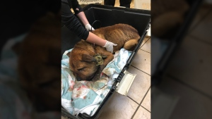 The festering wound was so infected, the dog's head had swollen to nearly three times its normal size, the SPCA said. (BC SPCA)