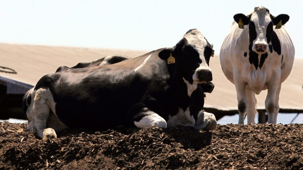 A pair of Holstein dairy cows