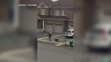 Brampton turkey on the loose