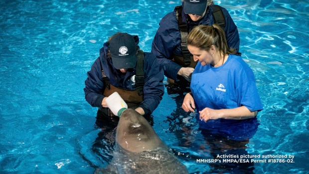 Rescued beluga whale calf from Alaska arrives at SeaWorld San Antonio