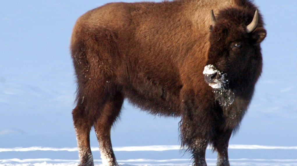 7b603a619faa32 More than 550 Yellowstone bison removed so far this winter