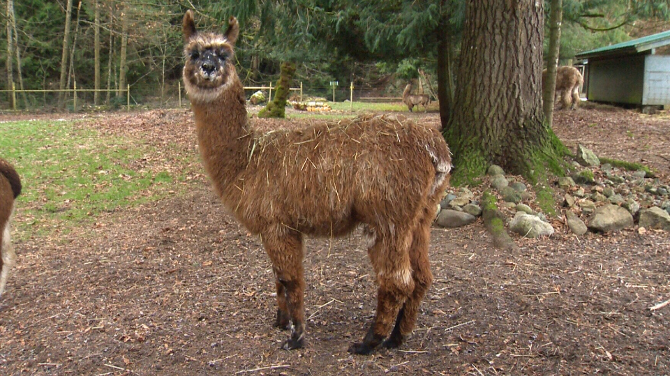 'Sparkle' the llama was previously featured in a Sawatsky Sign-Off segment last year. (CTV Vancouver Island)
