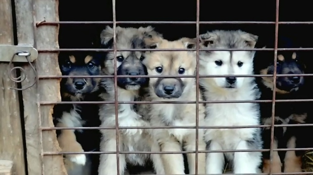 Dogs arriving from South Korea meat farm