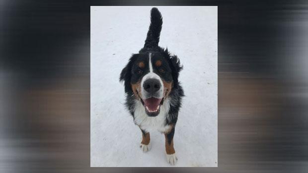 Ollie - missing dog