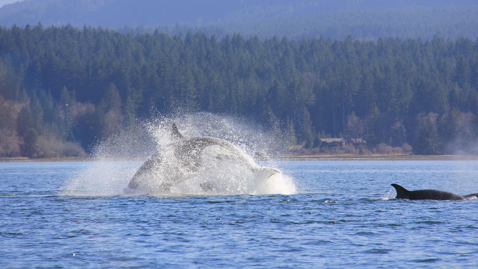 A large pod of at least 20 orcas was spotted off Campbell River, heading south for lunch on Tuesday. (Courtesy Ida Fraser)
