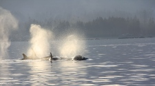 orcas campbell river