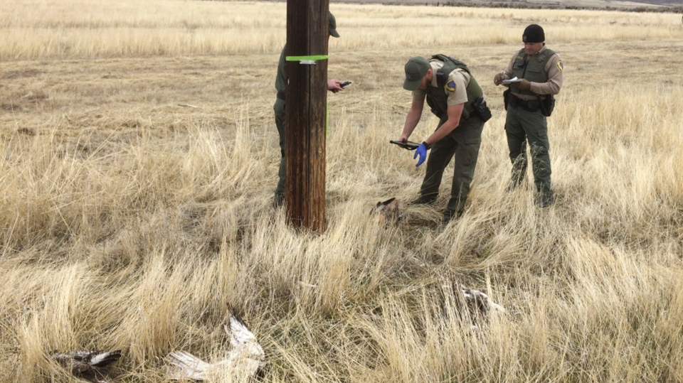 Officers conduct an investigation of dead birds located at the bottom of roosting trees or manmade objects such as telephone poles near Standish, Calif. (California Department of Fish and Wildlife via AP)
