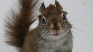 The study looked at red squirrels in Yukon. Courtesy: Jessica Haines
