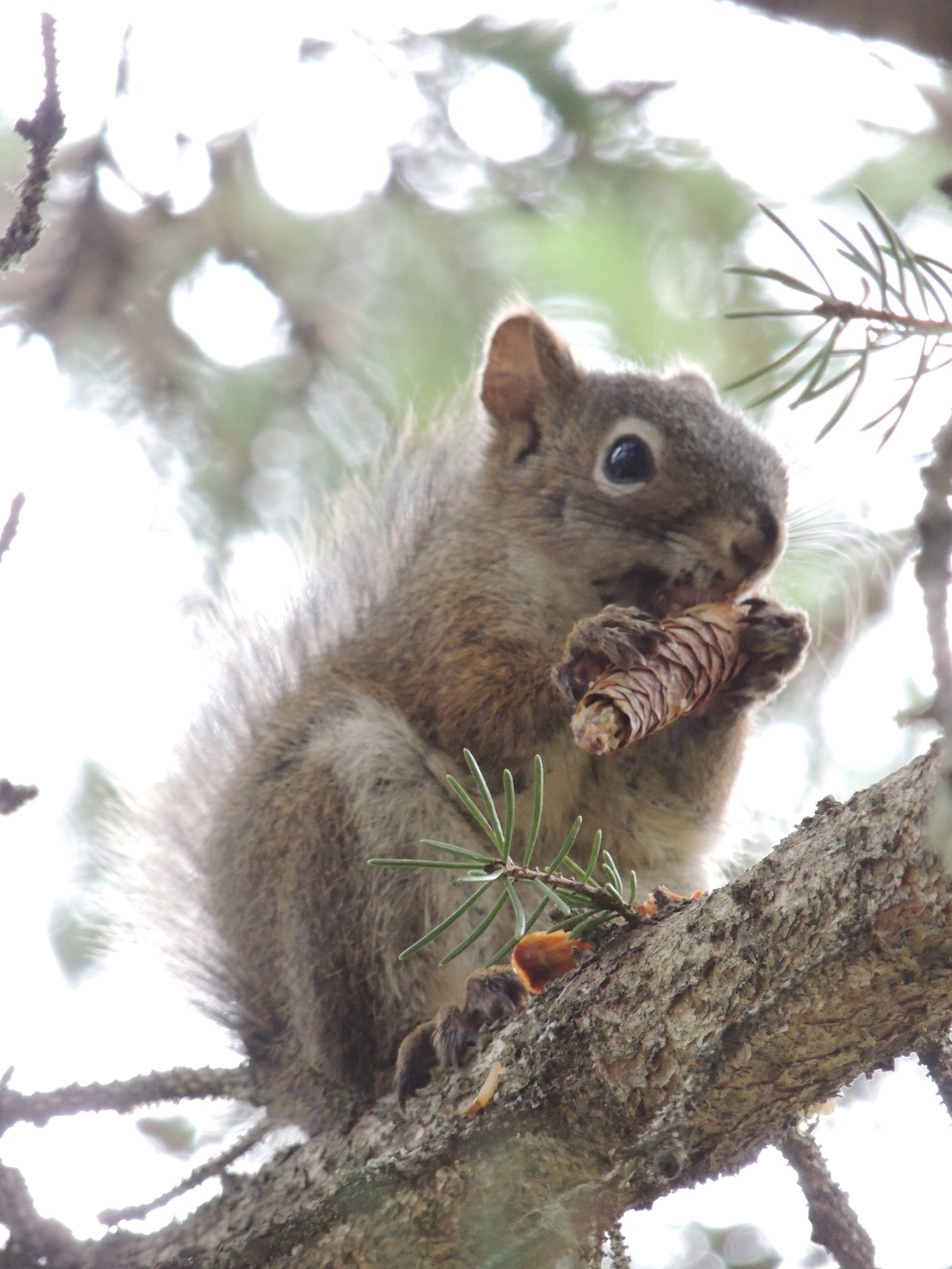 White spruce cones is the main food source for red squirrels.  Courtesy: Jessica Haines