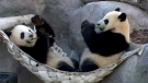 Toronto Zoo pandas