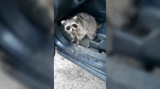 A raccoon surprised a CTV News Toronto freelancer when it popped out from under his car's front seat.