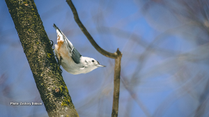 White-breasted Nuthatch in March. (Zachary Dobson/CTV Viewer)