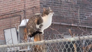 A feral cat is shown in Montreal in this image from video. A volunteer-run group is aiming to trap, sterilize, and rehome some of Montreal's hundreds of thousands of stray and feral cats, who often suffer slow and painful deaths on the streets. THE CANADIAN PRESS/Morgan Lowrie