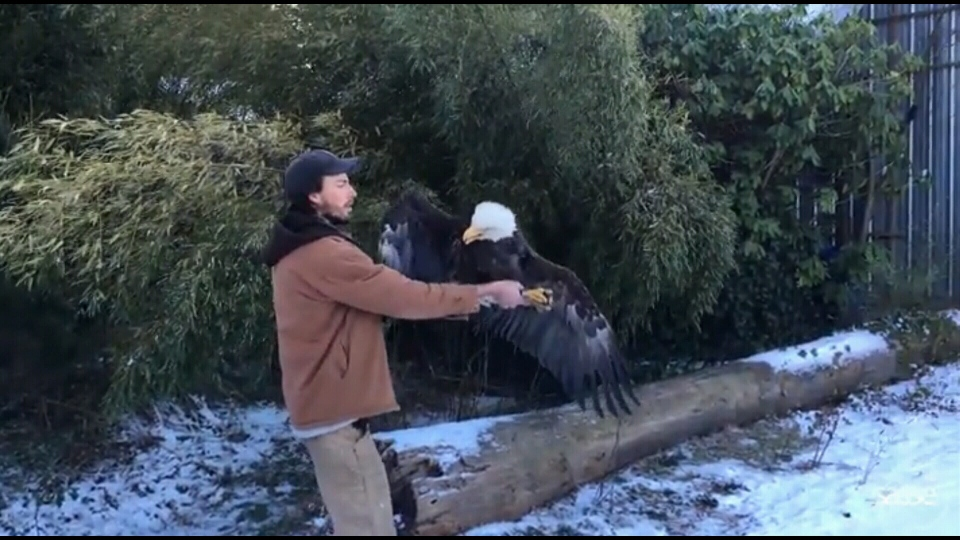 A researcher releases an eagle after it was fitted with a backpack. (Courtesy / SassePhoto)