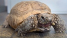 Gus, a 95-year-old gopher tortoise, his mouth stained from eating berries, is seen at the Nova Scotia Museum of Natural History in Halifax on Friday, March 16, 2018. (THE CANADIAN PRESS/Andrew Vaughan)