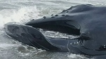 Whale carcass attracts attention in N.S.
