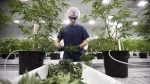 Workers produce medical marijuana at Canopy Growth Corporation's Tweed facility in Smiths Falls, Ont., on February 12, 2018. THE CANADIAN PRESS/Sean Kilpatrick