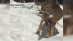 Jason Carter captured this image of a deer wearing a tracking collar in Saint-Quentin, N.B. He's calling for the neckwear to be removed.