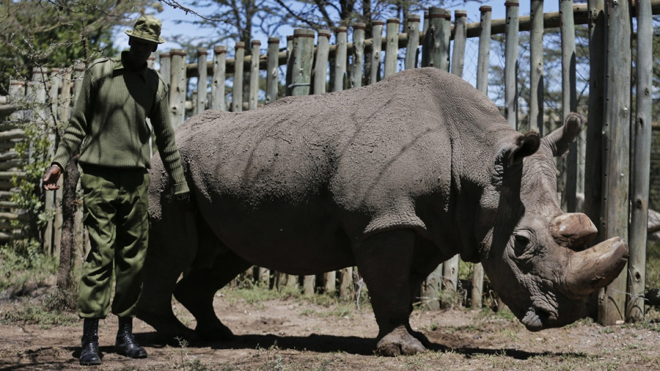 Sudan, the male northern white rhino, at the Ol Pejeta Conservancy in Laikipia county in Kenya, on May 3, 2017. (AP)