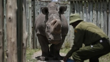 The male northern white rhino 'Sudan' in 2017