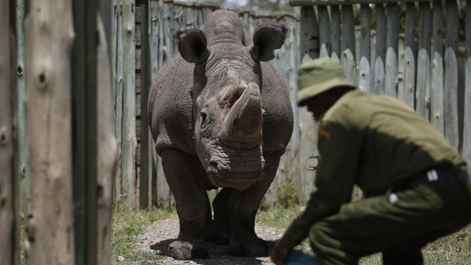 The male northern white rhino 'Sudan' at the Ol Pejeta Conservancy in Laikipia county in Kenya, on May 3, 2017. (AP)