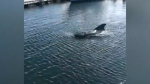 Pilot whale spotted at Dartmouth Yacht Club