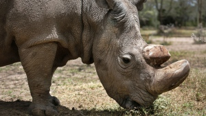 """In this photo taken Wednesday, May 3, 2017, Sudan, the world's last male northern white rhino grazes at the Ol Pejeta Conservancy in Laikipia county in Kenya. Sudan has died after """"age-related complications"""" researchers announced Tuesday, saying he """"stole the heart of many with his dignity and strength."""" (AP Photo)"""
