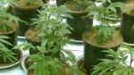CTV Atlantic: N.S. budget's cannabis tax