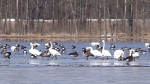 CTV Barrie: Tundra swans