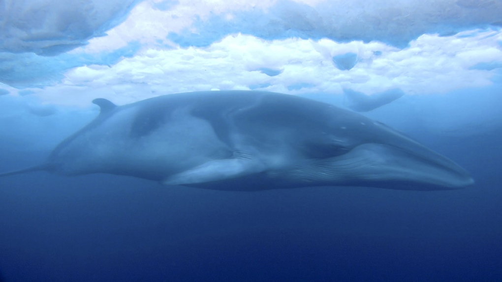 Minke whale swimming in McMurdo Sound, Antarctica